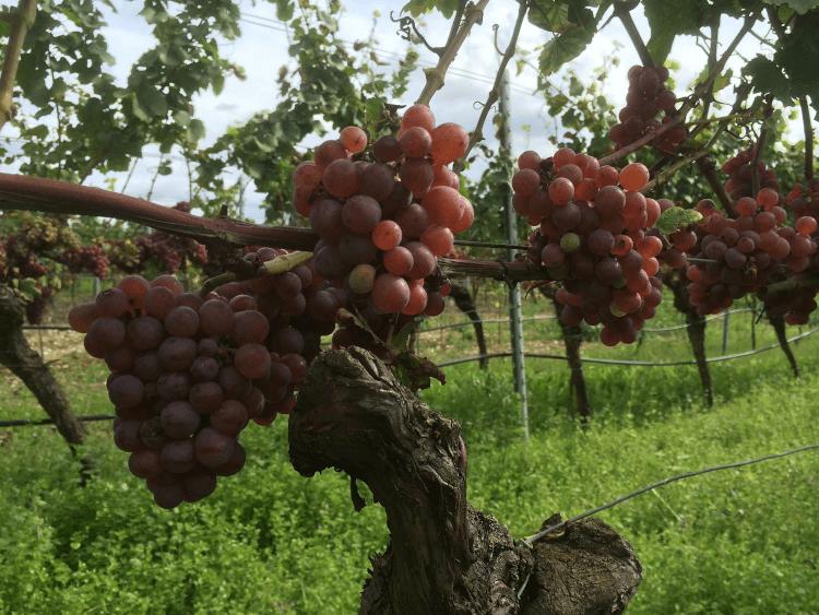des raisins rouges et mûrs provenant du Weingut Lukas Kesselring